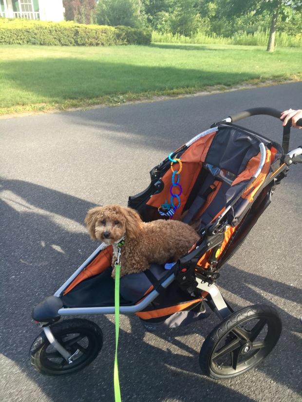Puppy in a stroller