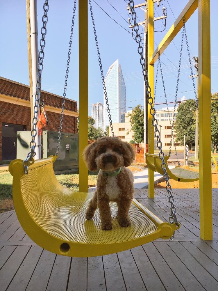 Bichpoo puppy in Charlotte, NC