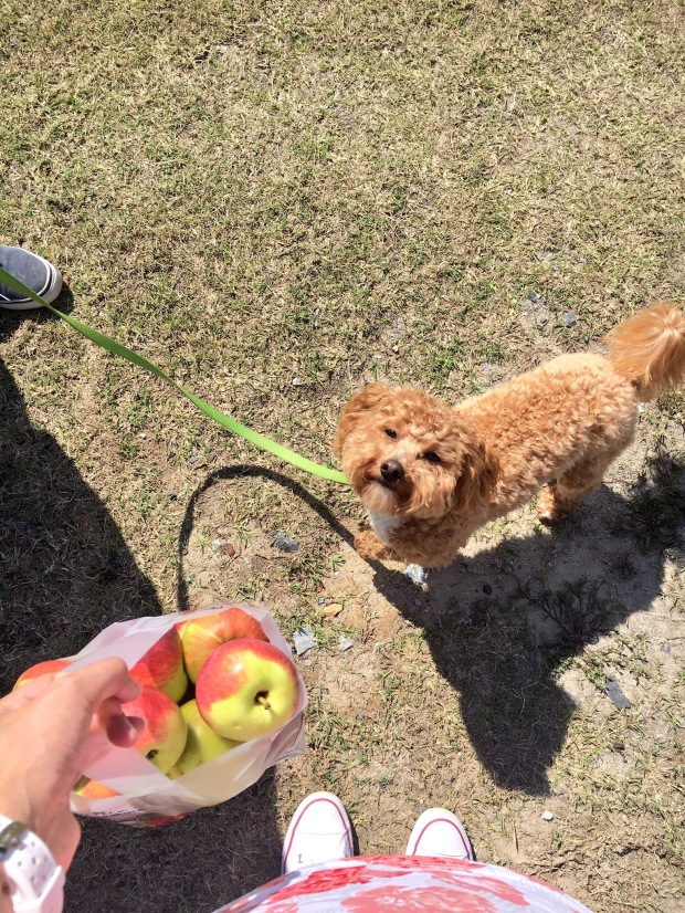 Pick your own apples at Windy Hill Orchard